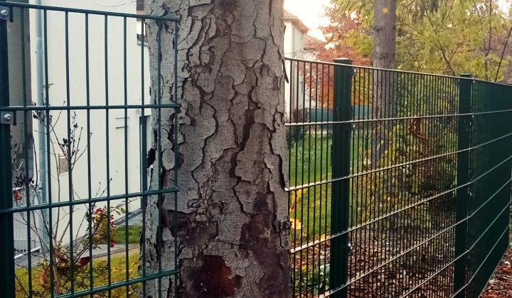 Doppelstabmattenzaun mit Baum
